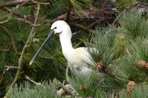 Spatule blanche réserve naturelle