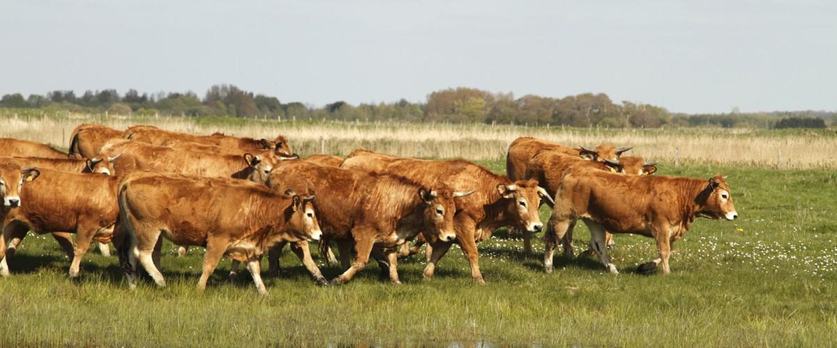 La Baie de Somme, site pilote pour le maintien de l'élevage