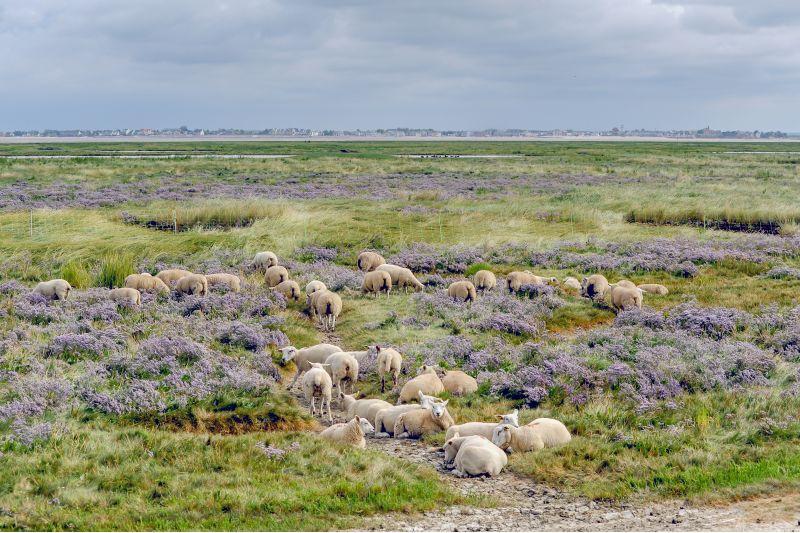 1er Prix ,moutons_d'estran en baie de somme