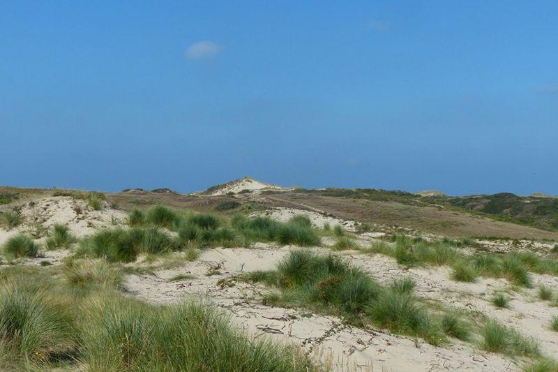Pelouse dunaire en restauration : après travaux (2016) , développement d'une strate herbacée typique des dunes blanches et semi-fixées
