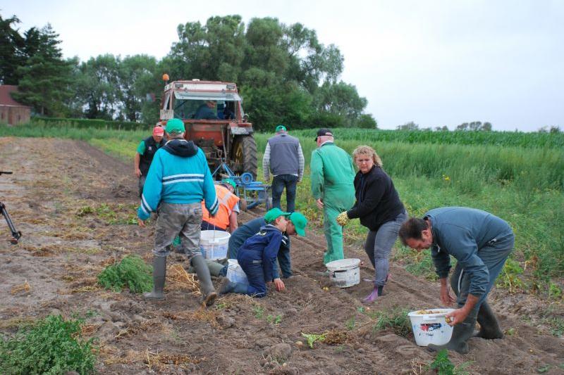 Récolte à la main de la Pomme Terre Primeur de la Baie de Somme