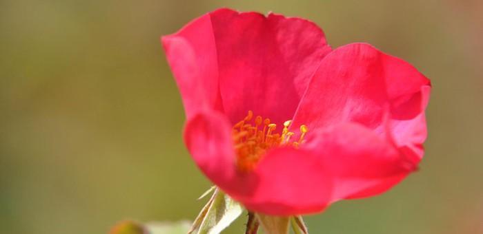 Journée Mémoire Rose de Picardy