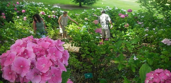 Visites guidées et atelier sur les hortensias