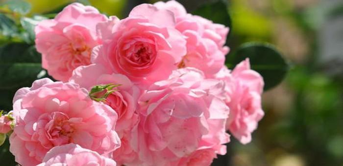 Autour de la Rose