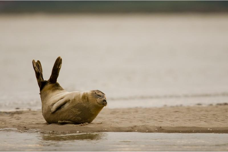 Phoque veau-marin en position