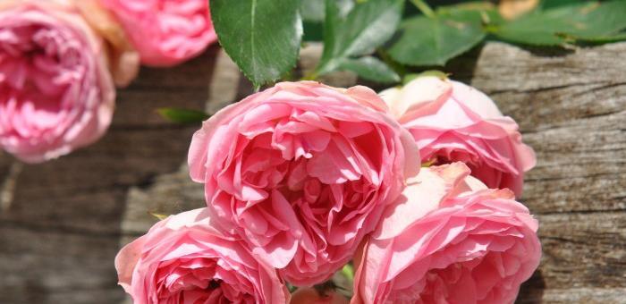 Rose des Jardins de Valloires