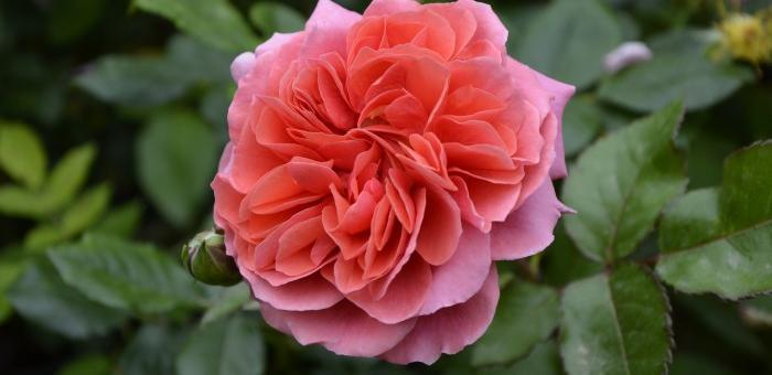 Rose Séduction Picarde