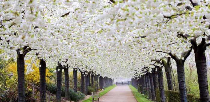 l'Allée des cerisiers aux Jardins de Valloires