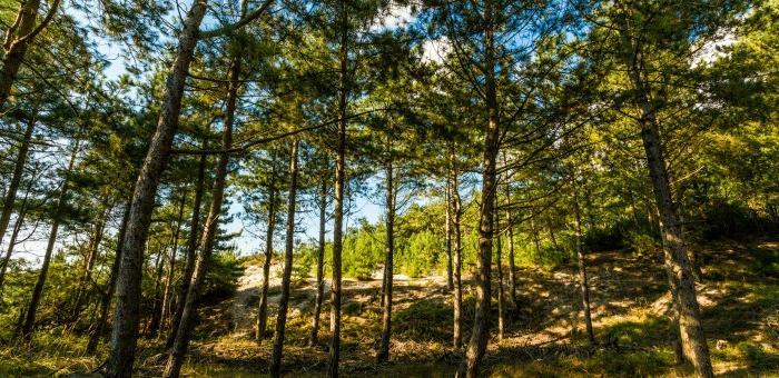 Les pins dans la Reserve Naturelle de la Baie de Somme