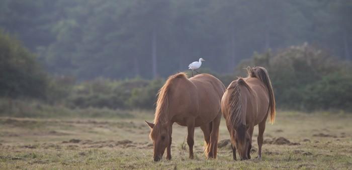 Rencontre entre le cheval de la Baie de Somme, le Henson et un Héron garde boeuf
